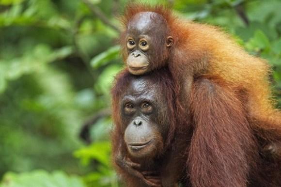 Orangutans  IUCN identifies tree species for climate-resilient reforestation orangutan 640