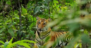 Bengal tigers  International Day for Biodiversity: CITES applauds as Nepal destroys confiscated wildlife parts Bengal tigers