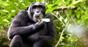 chimpanzee  Sugar plantation threatens habitat of chimpanzees in Uganda reserve schimpanse uganda