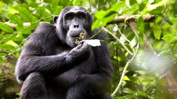 chimpanzees-uganda