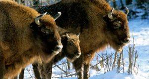 Wild bison Białowieża
