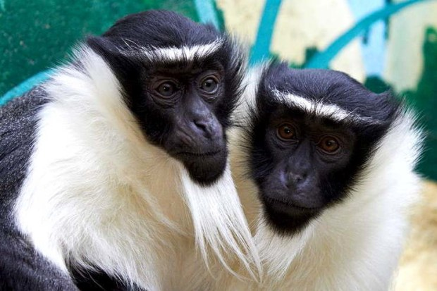 roloway monkey  Superhighway: Government seeks explanation on 'strange' wildlife EIA mentions roloway monkey