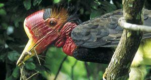 Helmeted Hornbill