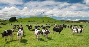 New Zealand cattle  Don develops cattle feed that boosts milk yield Cattle e1516285153961