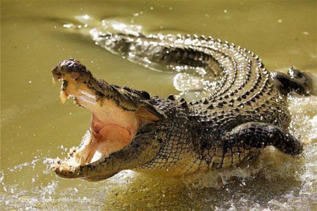 crocodile  Aussie farmer who killed 100-year-old crocodile fined $8,000 Crocodile e1518801774827