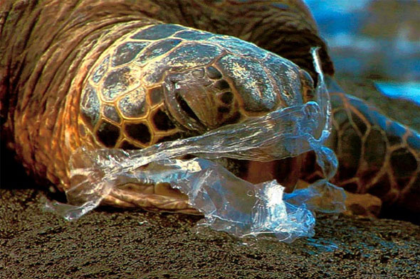 A turtle eating plastic