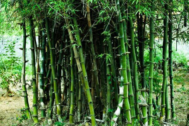 Bamboo  Summit explores role of bamboo in achieving sustainable development Bamboo