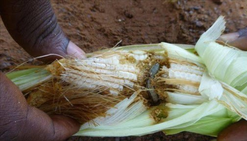 Armyworm  AfDB, partners convene to tackle armyworm in East Africa Armyworm