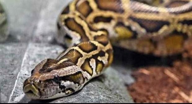 Python  Kill a python and go to jail, warns zookeeper Python