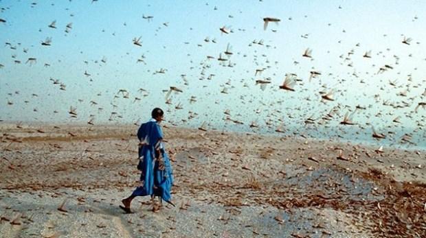 Desert locust swarm