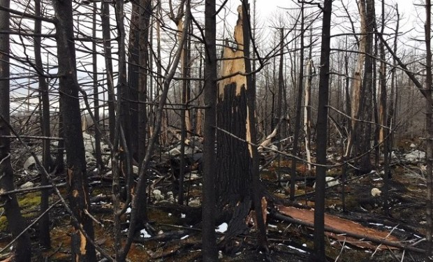 Fire-damaged trees