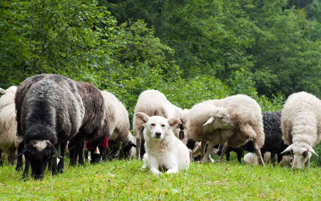 Dogs: A Rancher's Best Friend