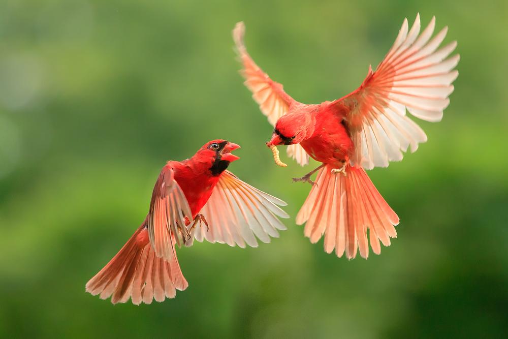 Bachelor Birds Help Preserve Genetic Diversity
