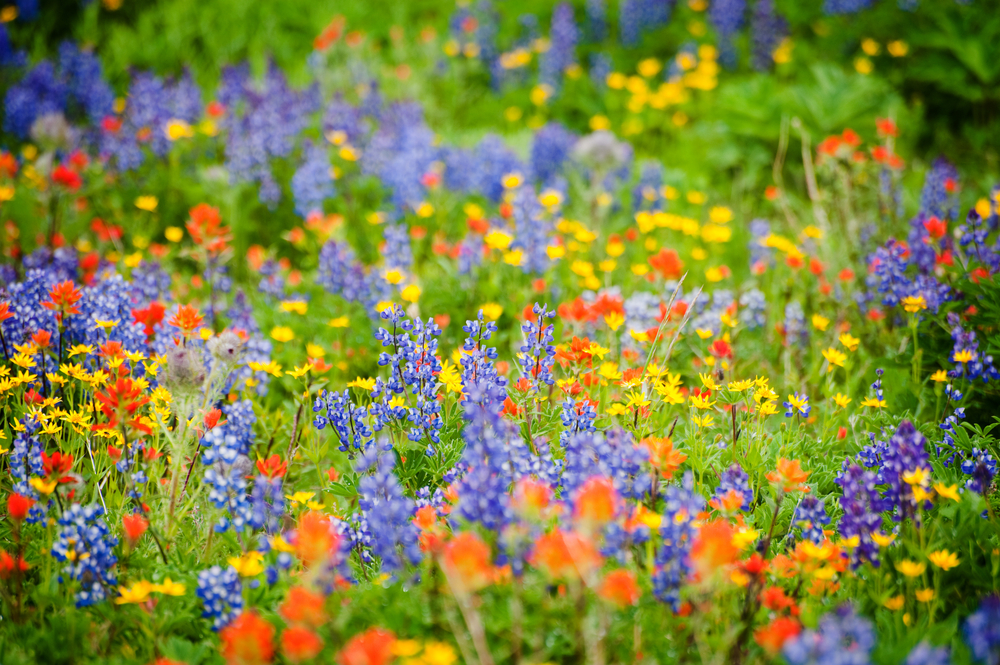 Some Californian Wildflowers Face Extinction
