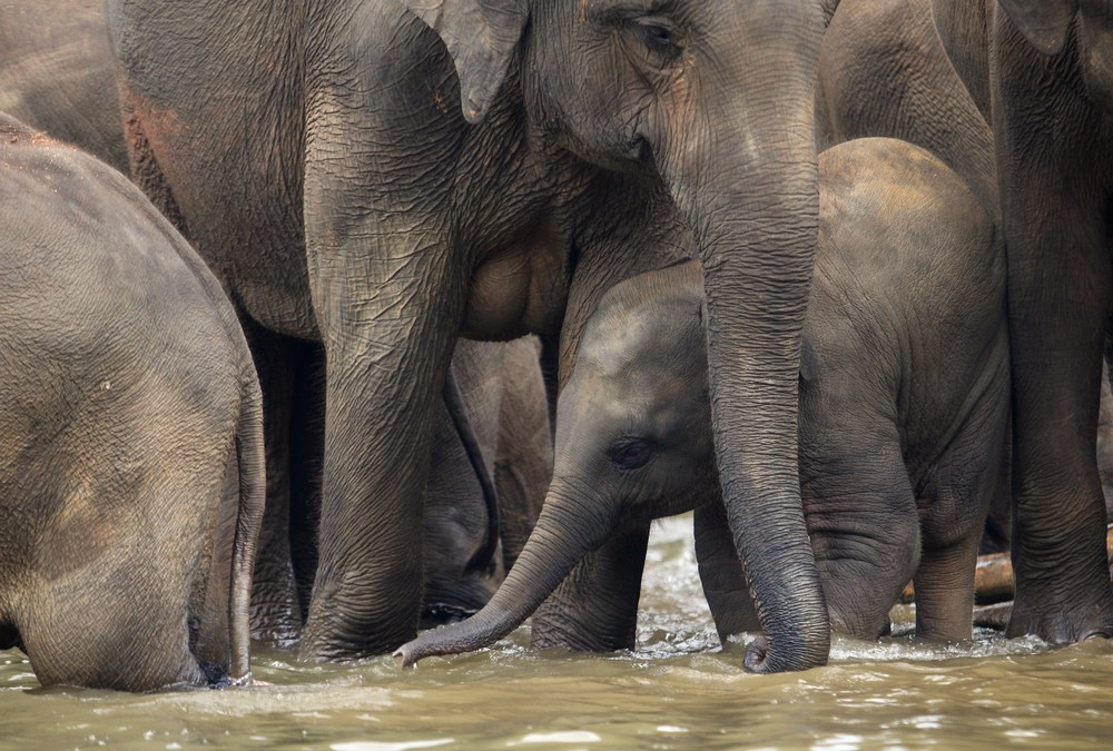 New Research Shows That Elephants Are Aware of Their Own Bodies