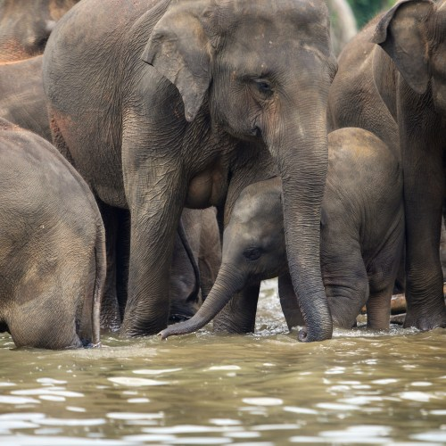 New research shows that elephants are aware of their bodies.