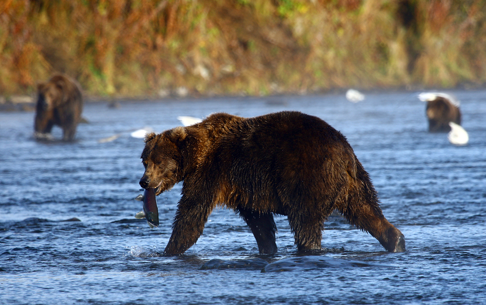 Climate Change Is Changing Kodiak Bears' Diets
