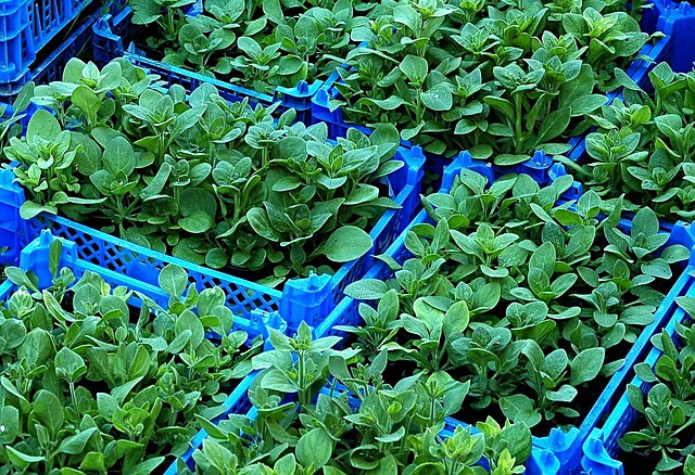 Blue crates with lots of green nursery seedlings in each crate