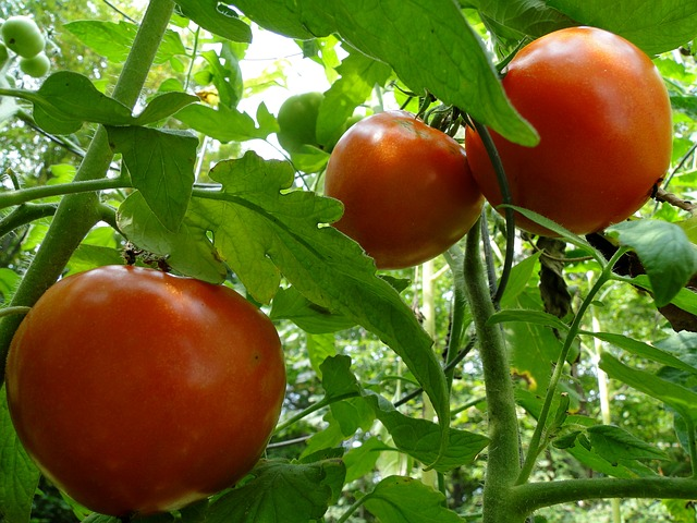 Green tomato plant with three bright red tomatoes