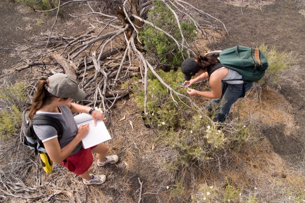 Researchers documenting a Piñon Pine