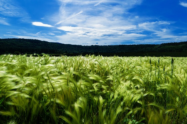 Image of green wheat and a bright blue sky