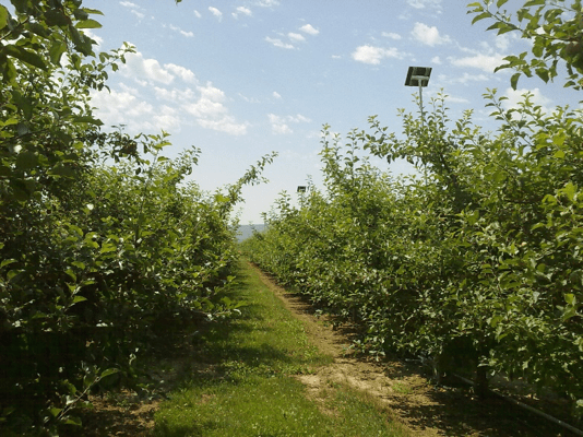 Fuji apple orchard (Roza Farm, Prosser, WA).