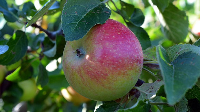 Close up of an apple on a tree