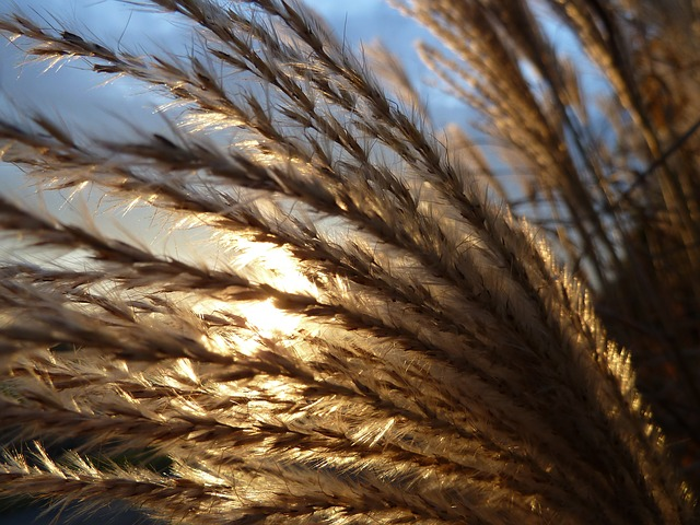 Wheat with sun shining through it