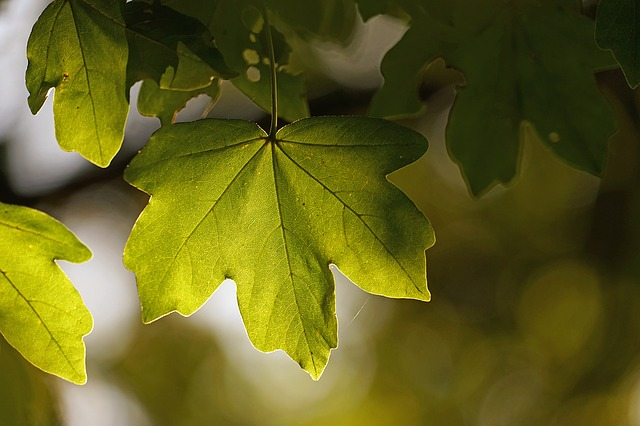 Leaf in sunlight on a tree