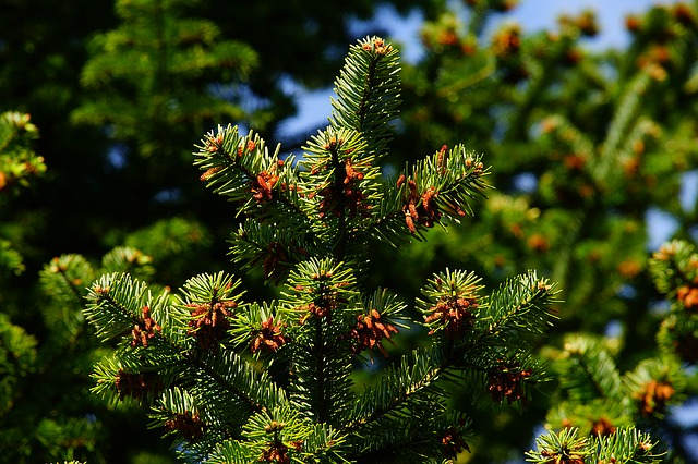 Green pine tree with baby pinecones