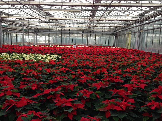Picture of green house full of bright red Poinsettia plants