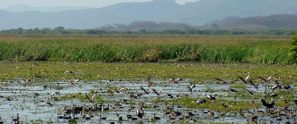 Flock of birds in the grasslands at Palo Verde National Park