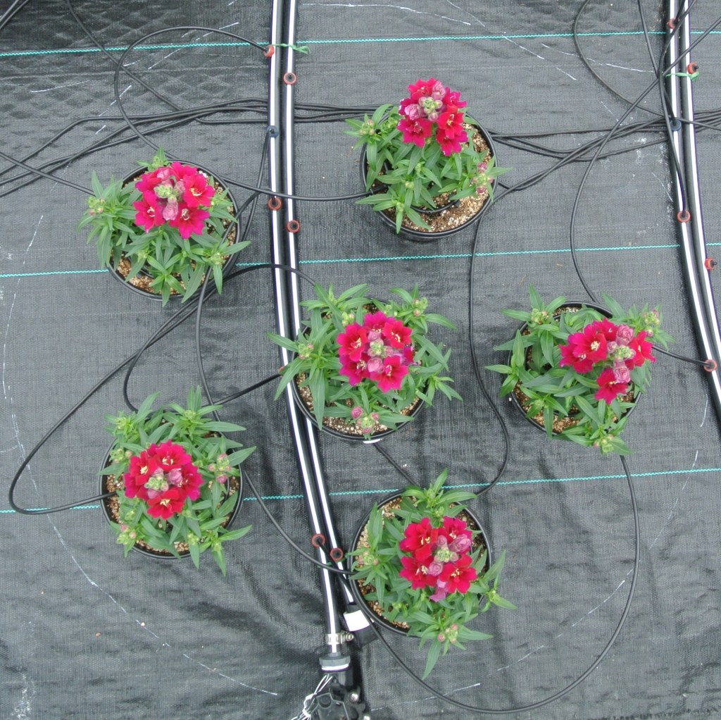 Six poinsettia plants with small flowers arranged with one in the middle and five around the middle one in a circle