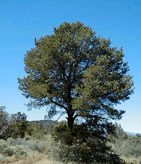 Image of a Piñon Pine growing high in the southwest
