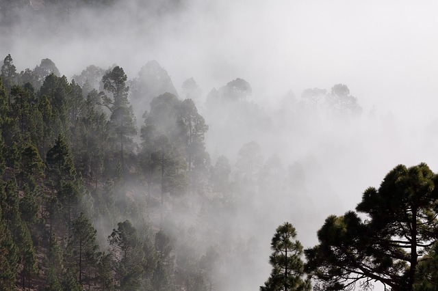 Fog in trees in a pine forest