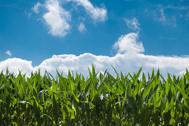 Crops with a blue sky background