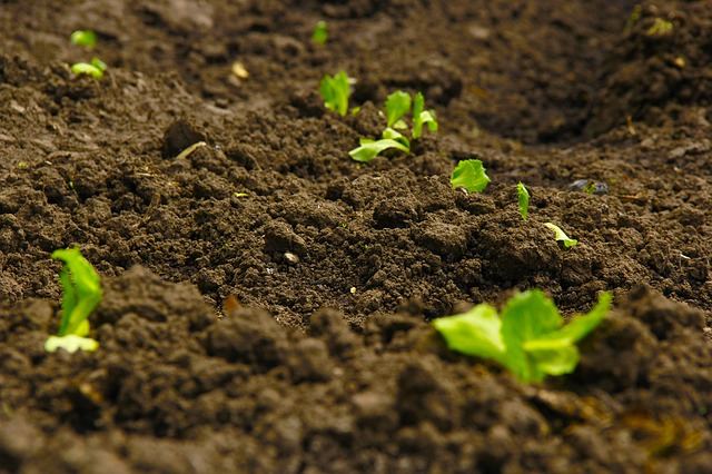 Plants sprouting out of soil