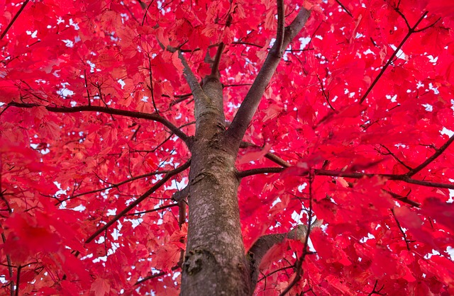 Image of a Hardwood tree in northern Michigan in Autumn