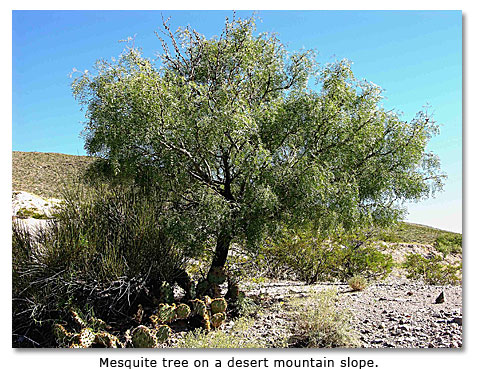 Image of a Mesquite tree on a desert mountain slope