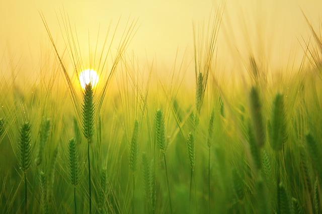 Sun rising behind a wheat field