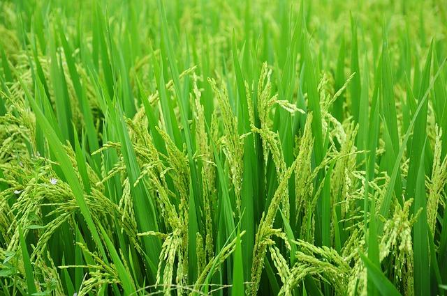 Fukushima rice patties
