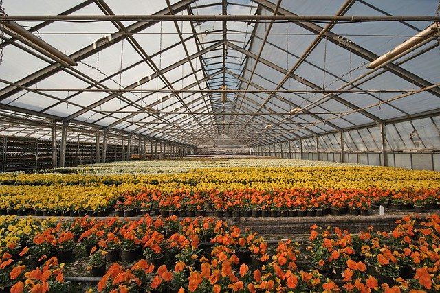 Image of orange, yellow, and white flowers in a green house