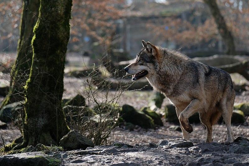 Drôme : augmentation des attaques du loup en 2020