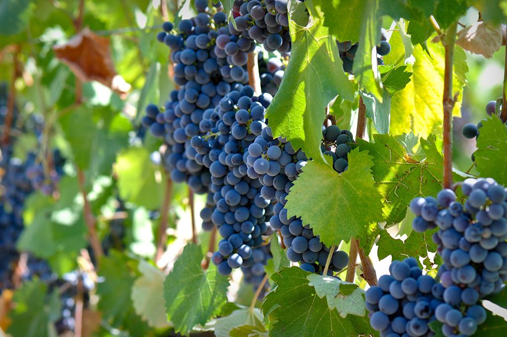 אוויר הרים צלול ויין: סיור יקבים ברמת הגולן