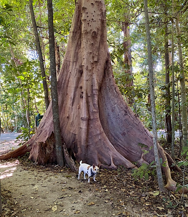 Enzo with giant tree with buttress roots