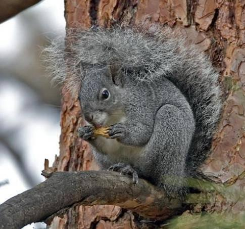 Western Grey Squirrels are silver or steel grey to a salt and pepper color with white underbellies