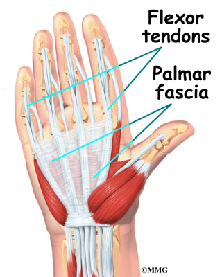 The palmar fascia lies under the skin of the palm & fingers!
