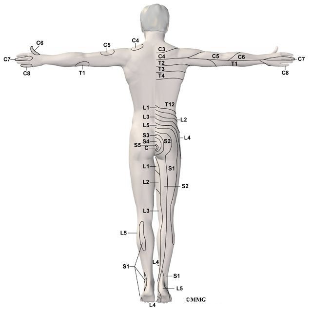 spinal cord and spinal nerves review sheet 15 Chapter 43 spinal cord and spinal nerves:  its upper 15 cm, the filum terminale internum, is continued within extensions of the dural and arachnoid meninges and.