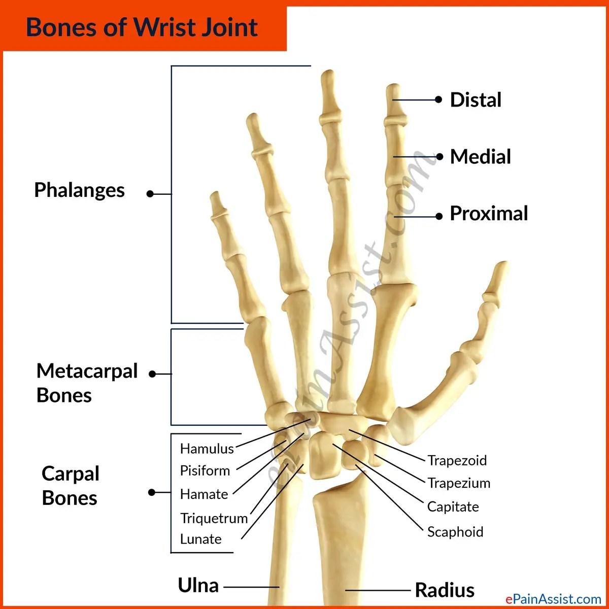 Wrist Joint Anatomy Bones Movements Ligaments Tendons