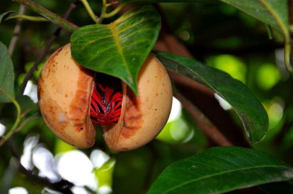 Muscade de Guadeloupe